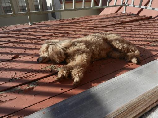 Flat Dog (Ms. Blossom)